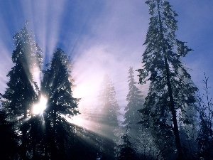 Christmas trees, between, rays of the Sun, The clear