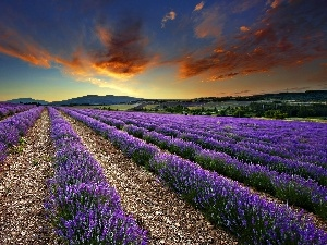 lavender, Field, west, sun