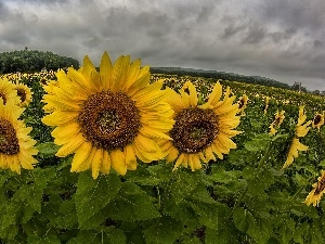 Field, clouds, panorama, sunflowers
