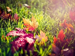Rosy, drops, grass, autumn, Leaf
