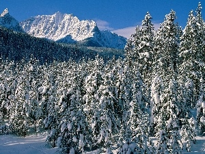 Spruces, Snowy, Mountains, winter
