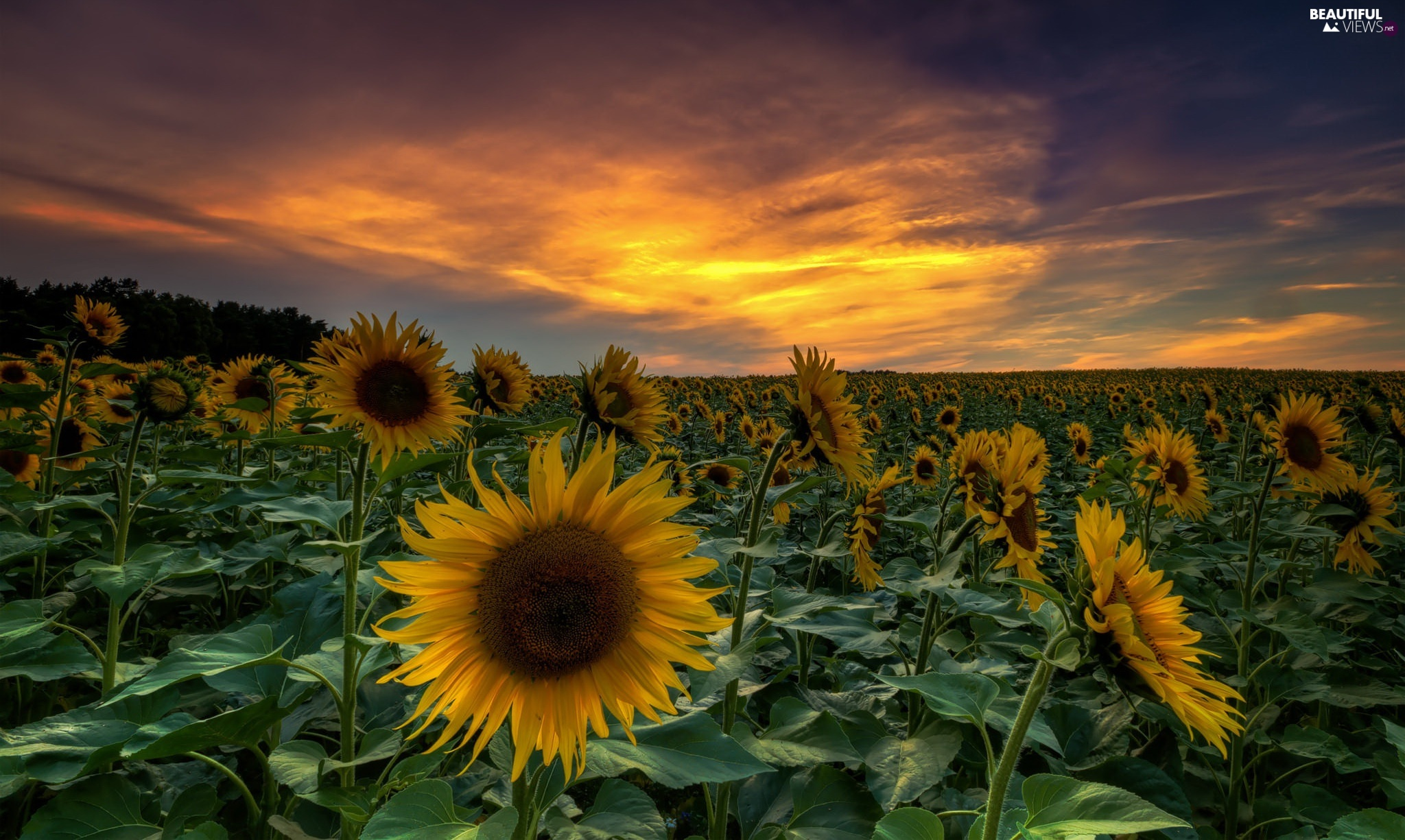 Nice Sunflowers, Great Sunsets, Field