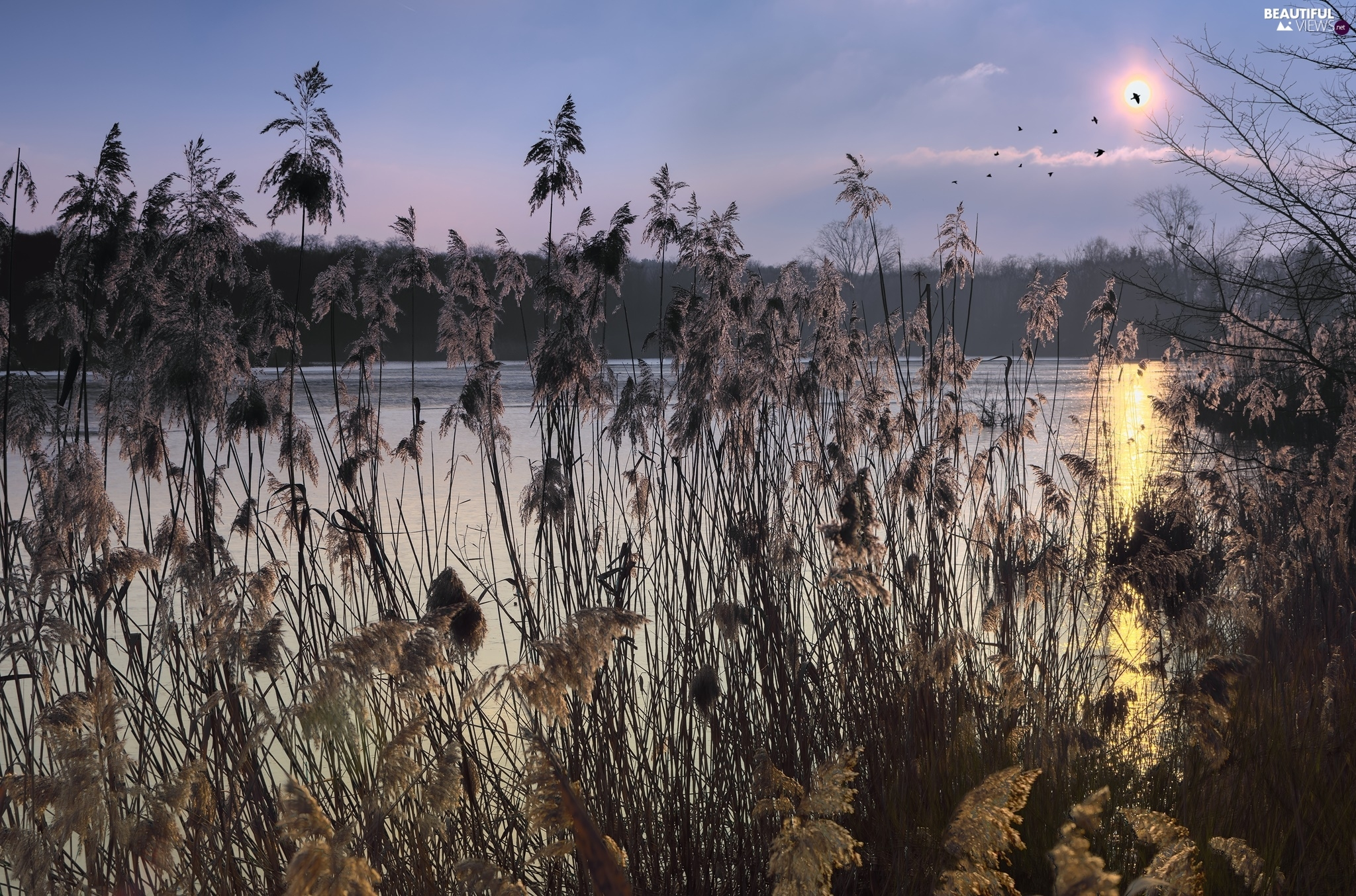 grass, Sunrise, lake, birds, cane