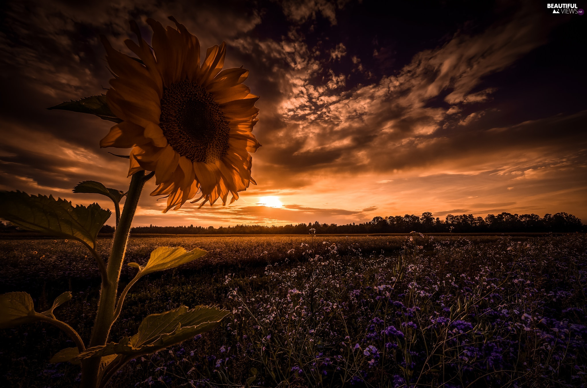 Sky, Clouds, Sunflower, Field