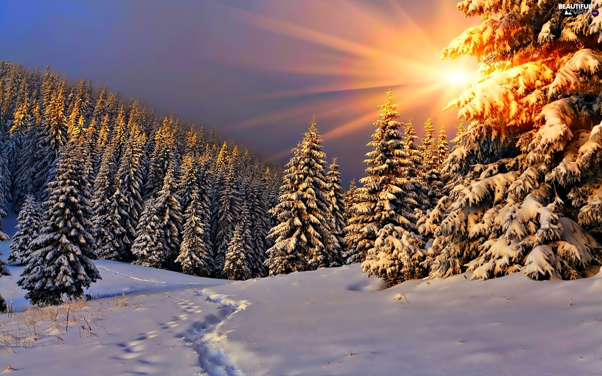 Beautiful Snowflake In The Sunlight: Forest, Spruces, Traces, Rays, Glamour, Snow, Winter, Sun