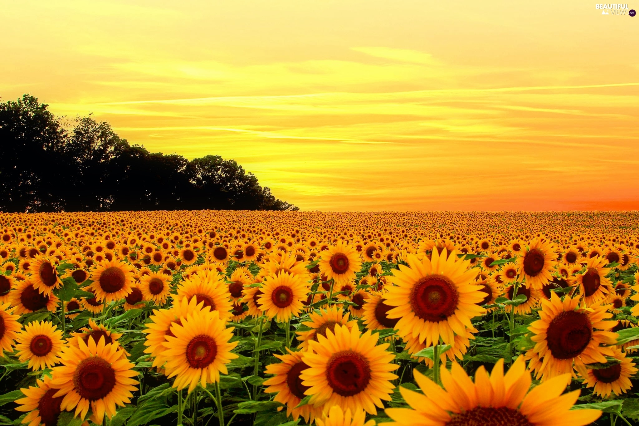 Nice Sunflowers, Great Sunsets, Summer, Flowers