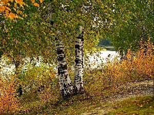 River, Leaf, autumn, birch