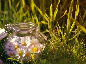 daisies, Meadow, jar