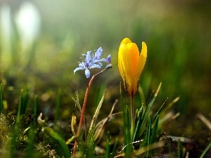 Yellow, blue, Flower, crocus