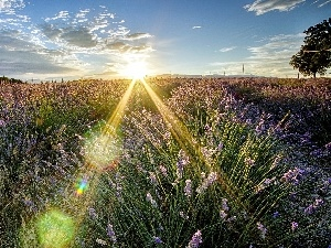 west, rays, lavender, sun