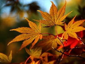 Maple Palm, color, Leaf, autumn