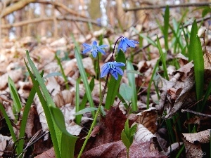 Leaf, Spring, Blue, Flowers, Siberian squill