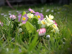 Primrose, Meadow, daisies, grass, luminosity, Spring, sun, flash, ligh