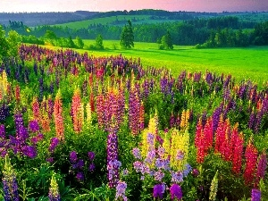 Meadow, lupine