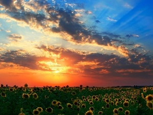 west, Sky, Nice sunflowers, sun