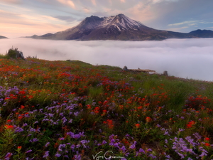 Volcano Mount St. Helens, Cascade Mountains, Meadow, Flowers, Washington State, The United States, Mountains, Fog, Indian Paintbrush