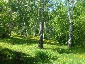 trees, birch, Park, viewes