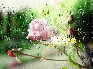 Pink, Glass, Rain, rose