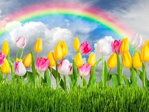 Great Rainbows, Flowers, Tulips