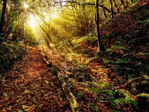 fern, Path, sun, Leaf, forest, rays, autumn