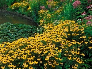 Nenufary, Flowers, Rudbeckia brilliant