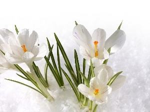 White, Spring, snow, crocuses
