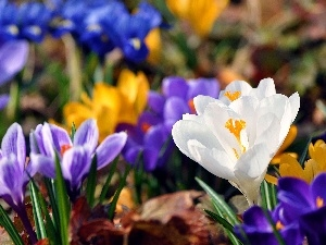 Spring, color, crocuses