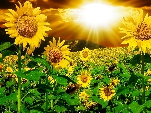 Nice sunflowers, rays, sun, Mountains