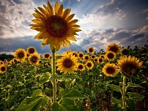 Field, sunflowers