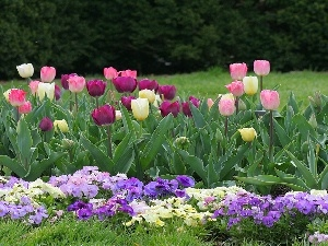 Tulips, Garden, pansies