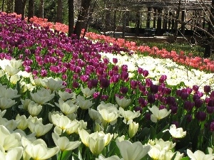 White, Red, Tulips, Pink