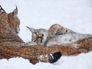 lynx, winter, Two cars