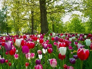 Park, trees, viewes, Tulips
