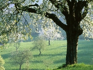 viewes, Spring, flourishing, trees, field