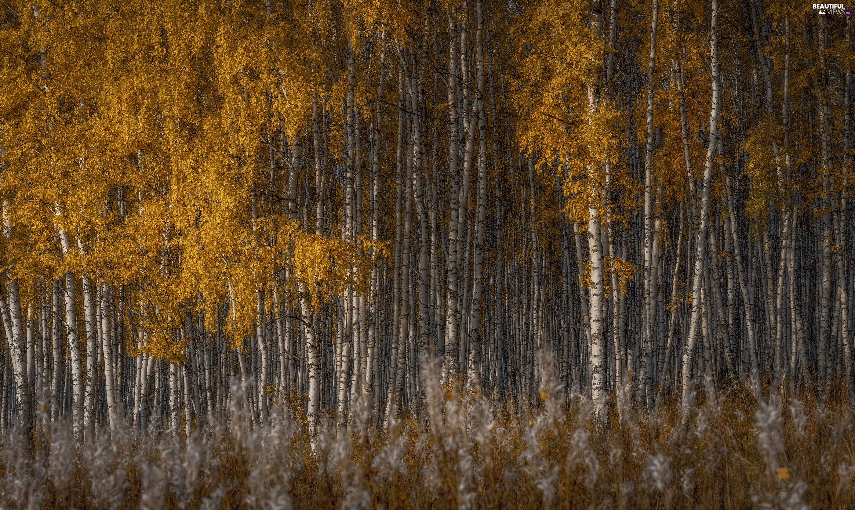birch, autumn, trees, viewes, forest