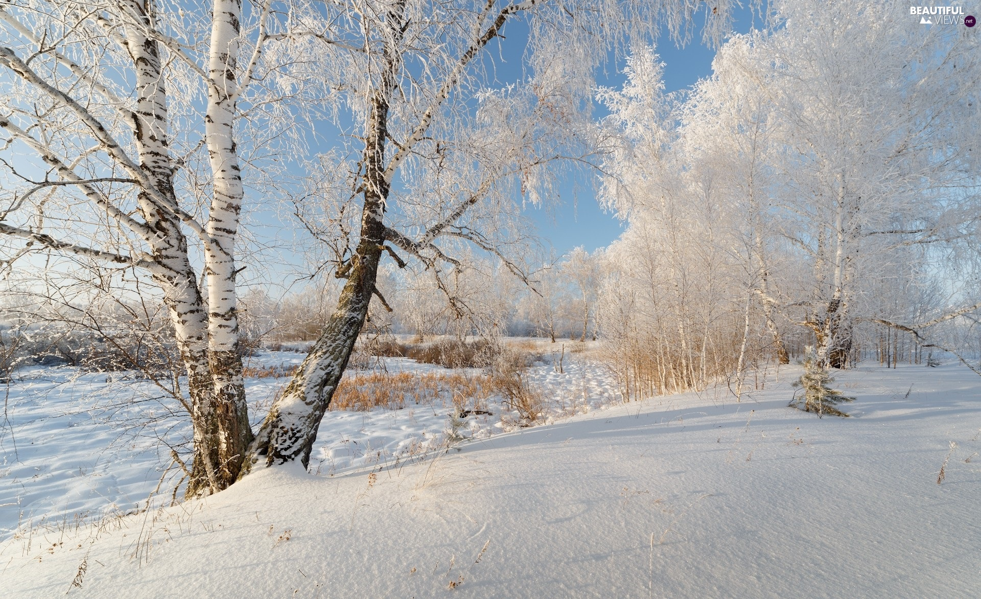 viewes, birch, Snowy, trees, winter