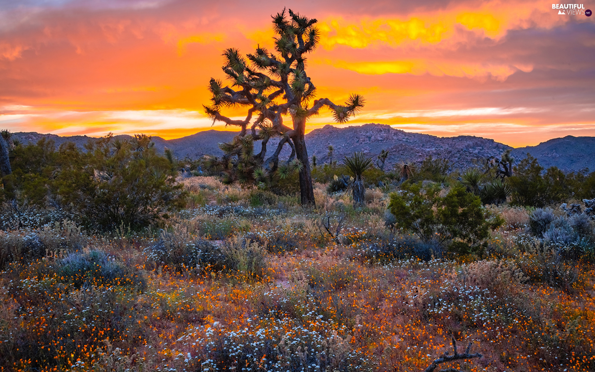 Flowers, Great Sunsets, California, The United States, Joshua Tree National Park, Joshua Tree