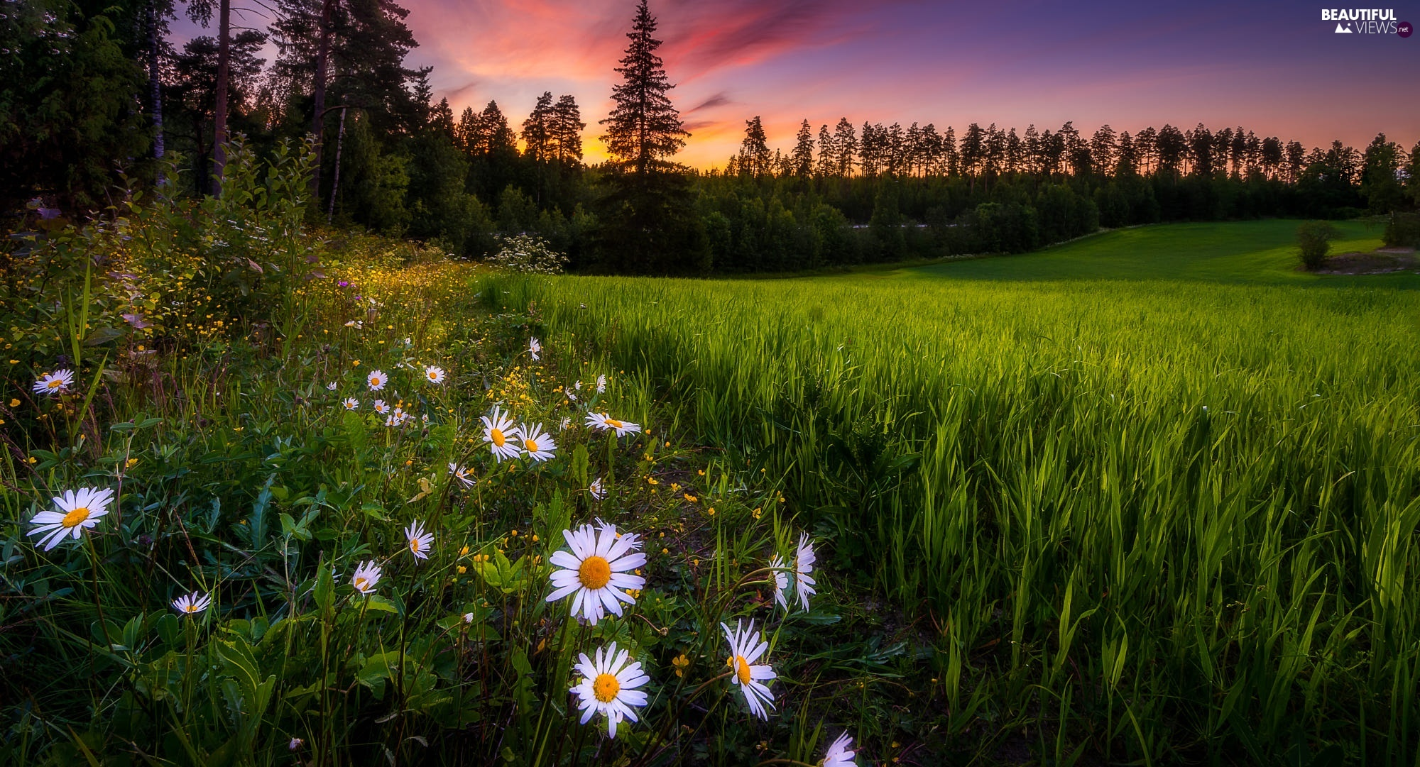 Flowers, trees, daisy, grass, Meadow, viewes