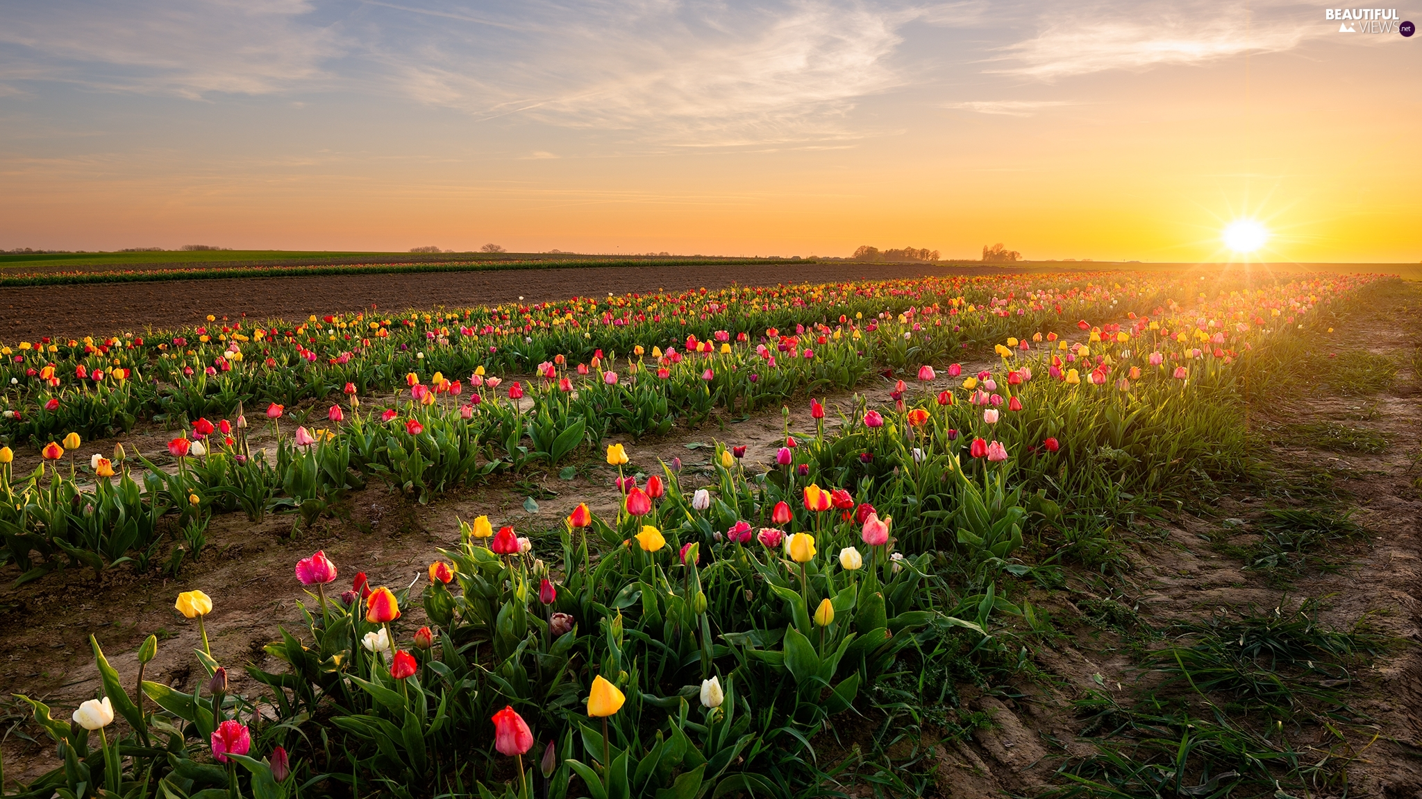 Tulips, plantation, Sunrise, Field