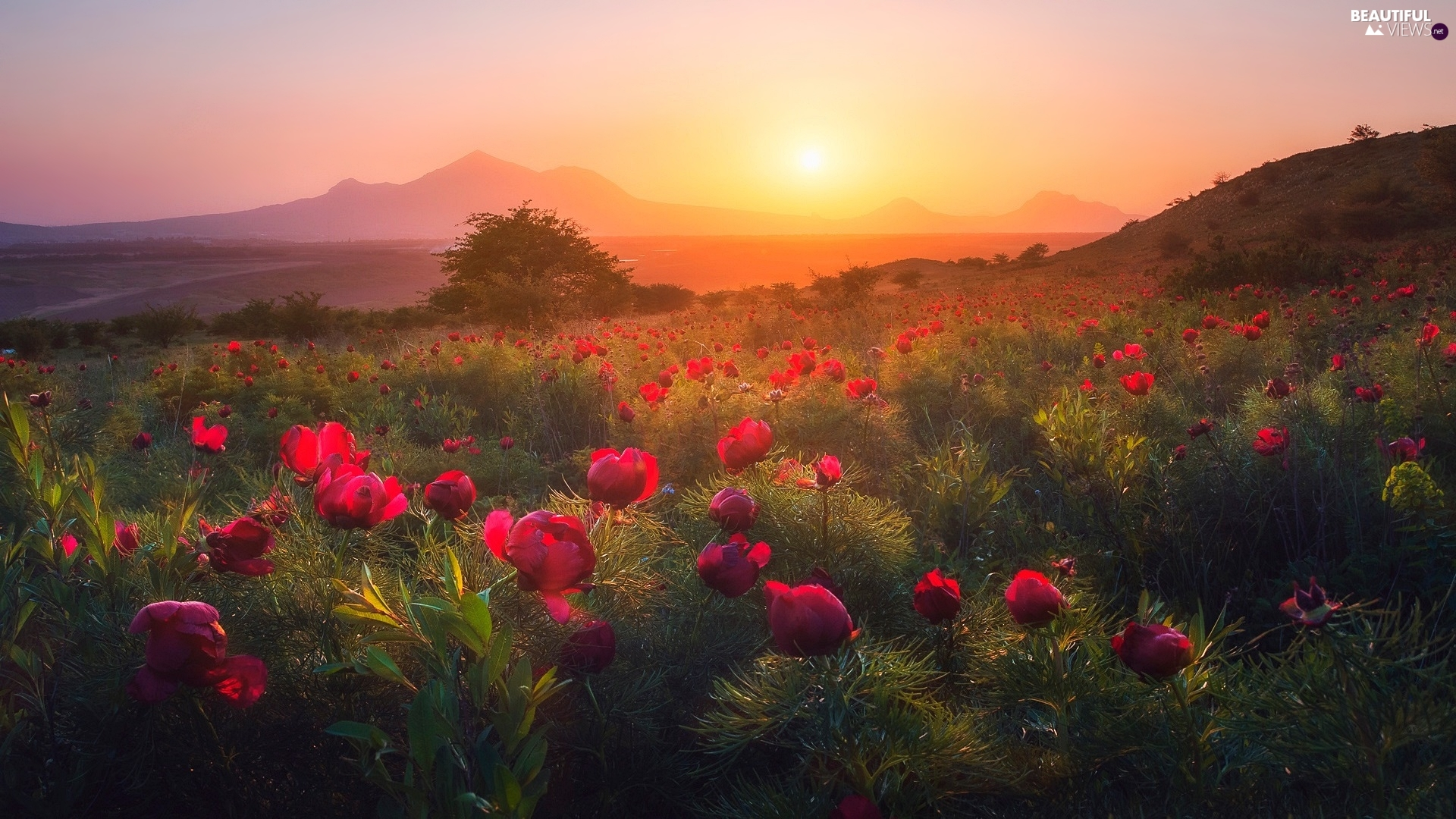 trees, Mountains, Peonies, Field, Great Sunsets, Flowers, Meadow