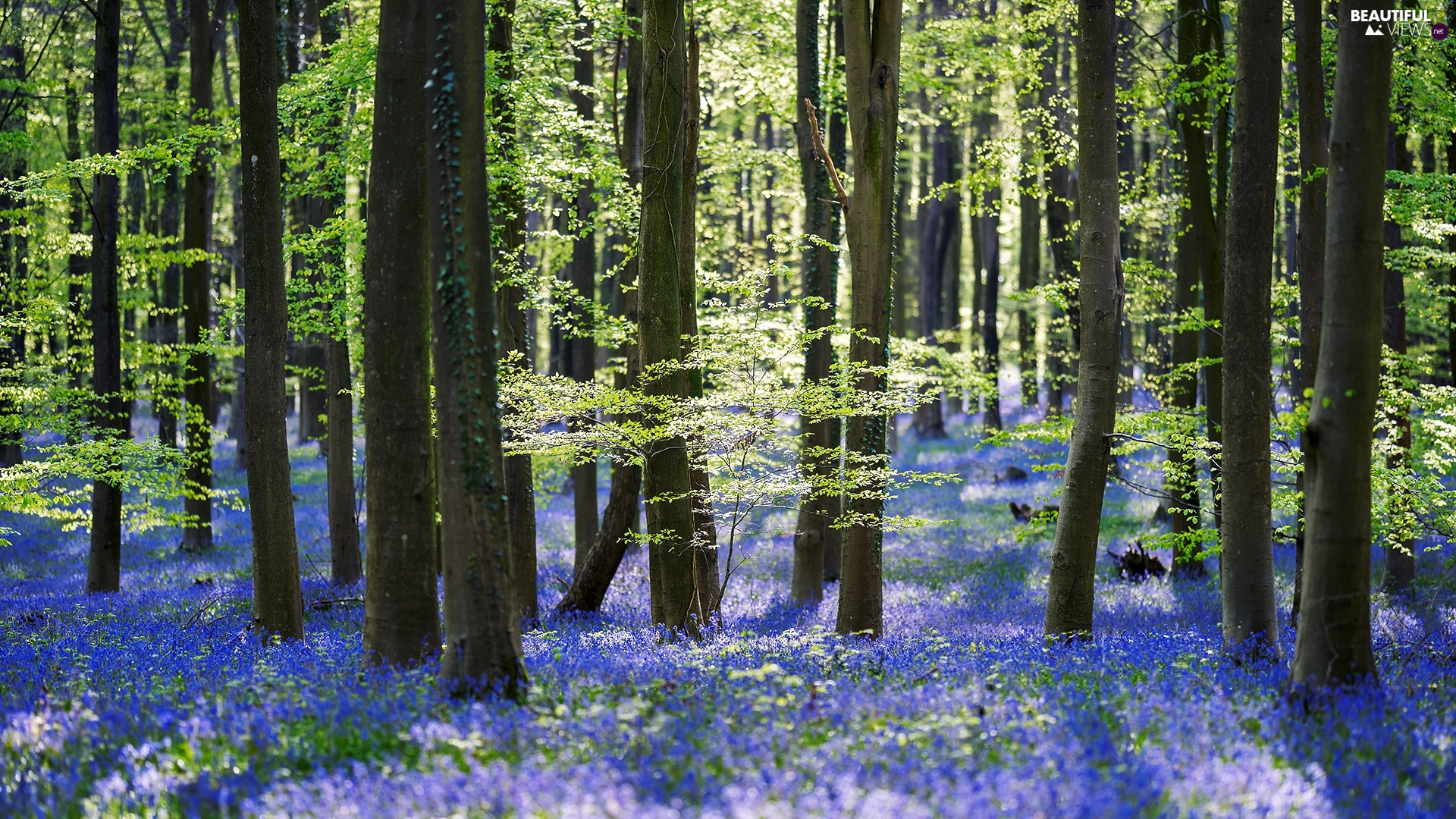 viewes, forest, Blue, Flowers, Spring, trees