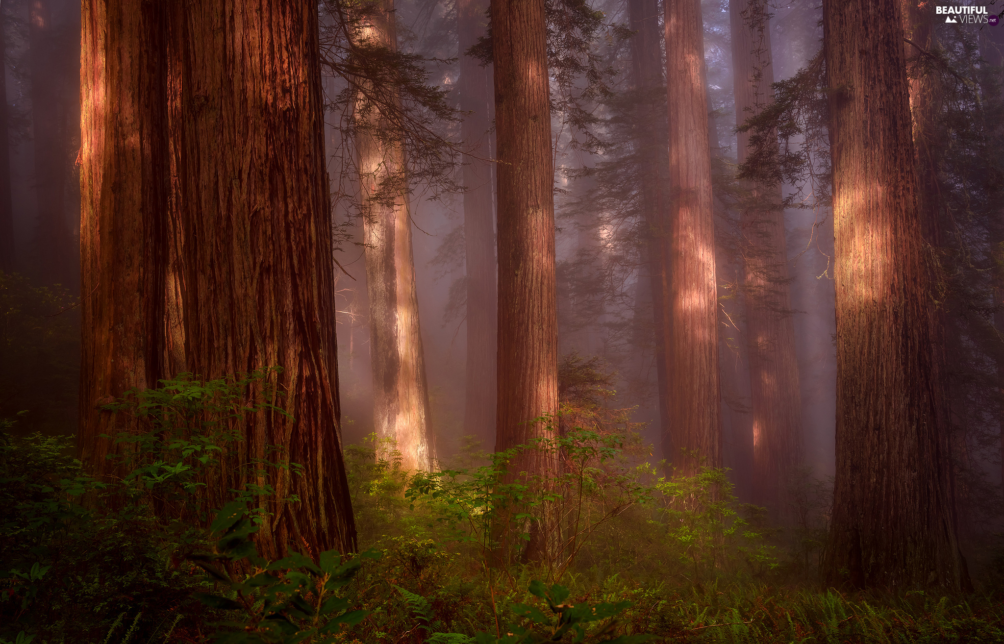 State of California, The United States, Redwood National Park, forest, fern, redwoods, viewes, Fog, trees