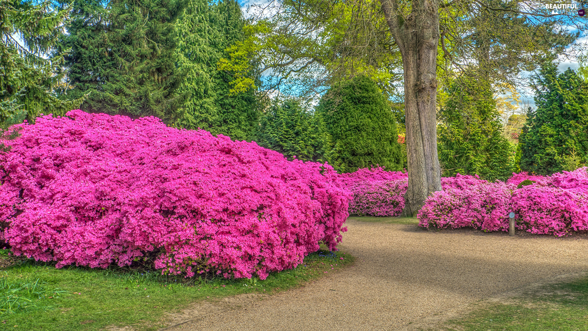 trees, Park, Bush, lane, viewes, Rhododendrons