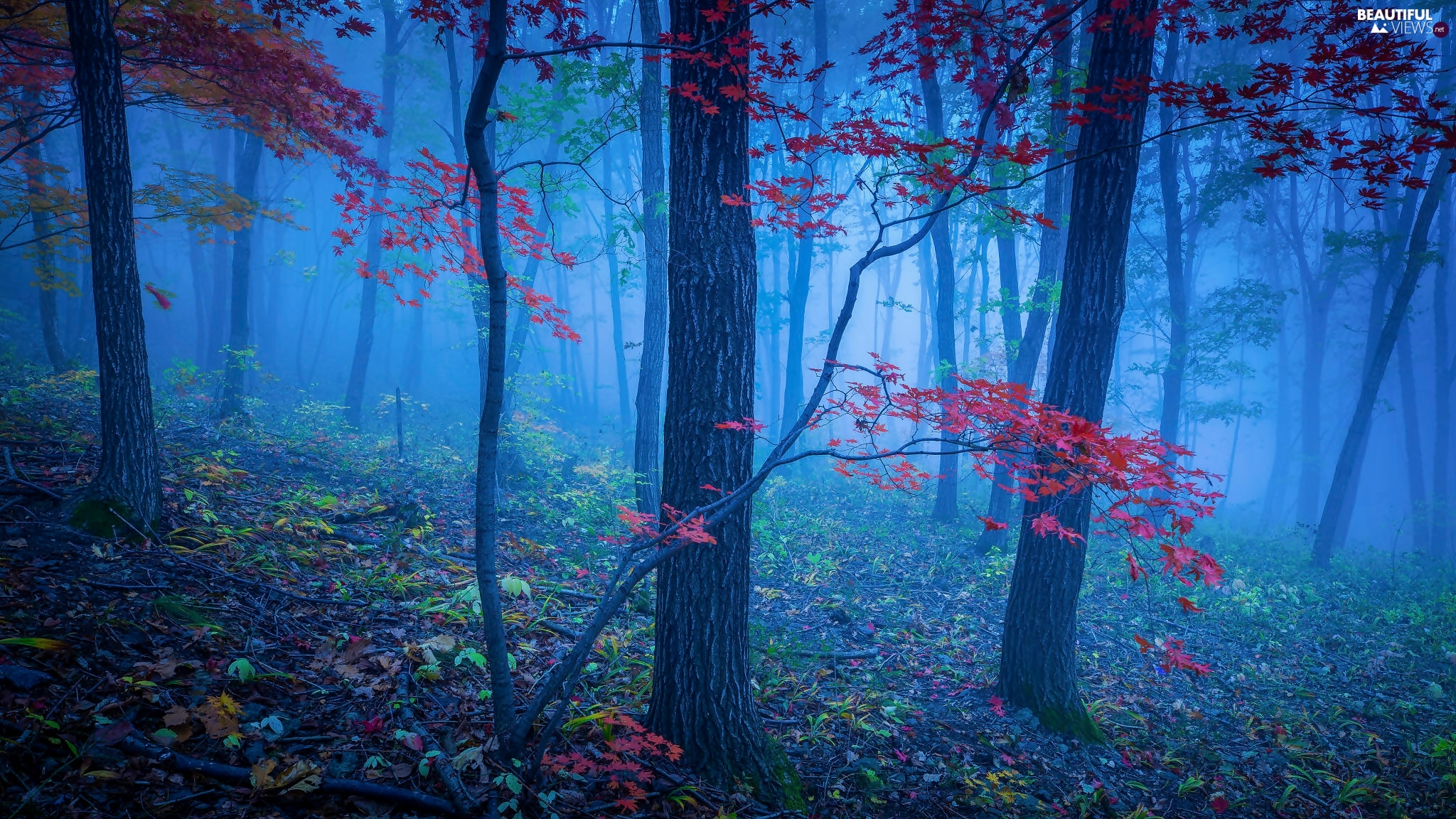 trees, forest, Red, Leaf, viewes, Fog