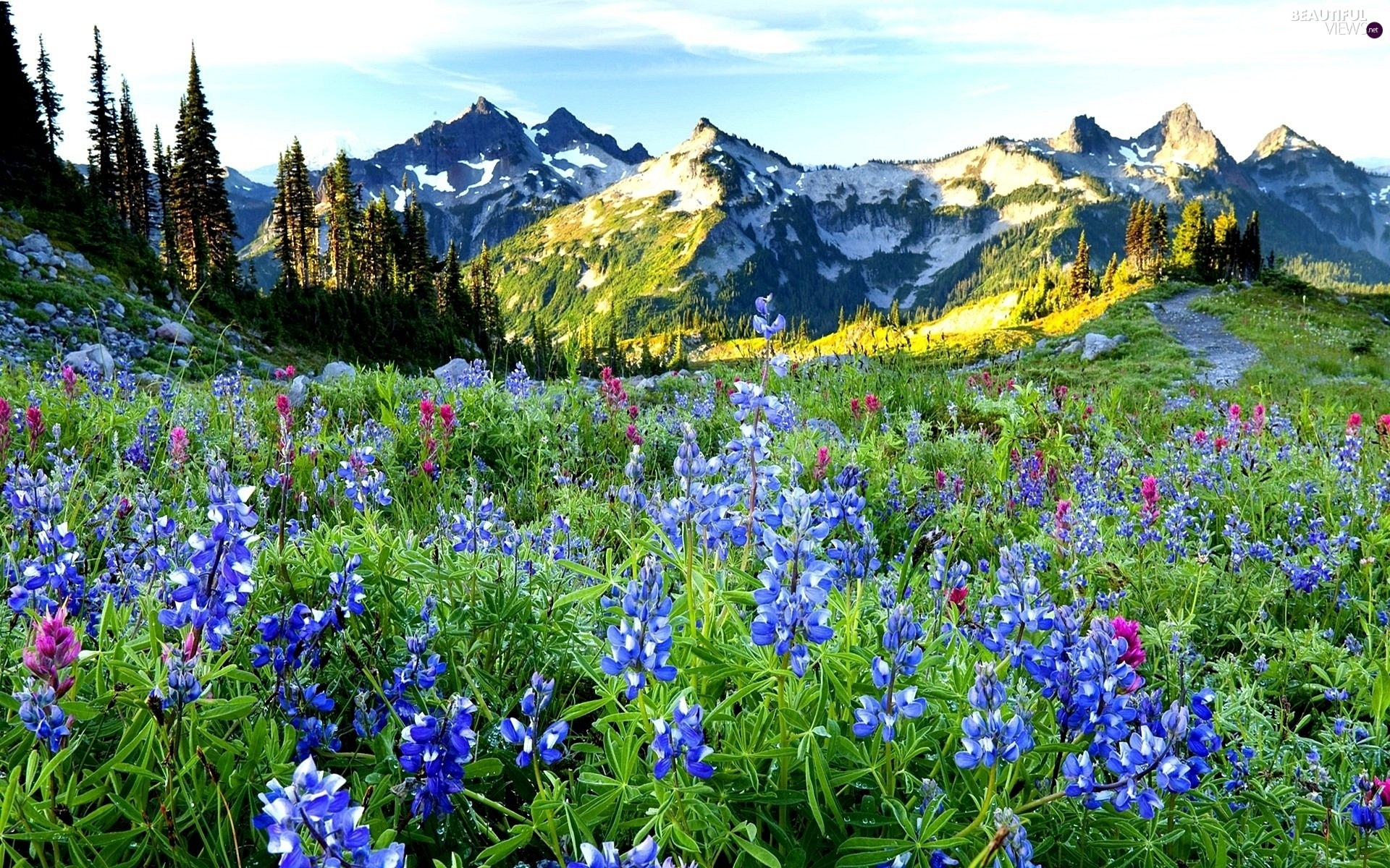Mountains, field, lupine, woods