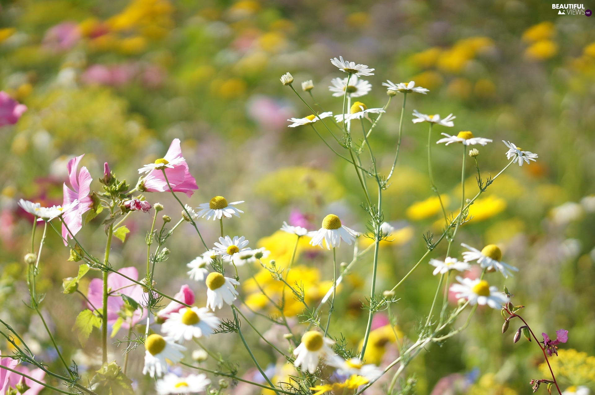 Meadow, Flowers, chamomile
