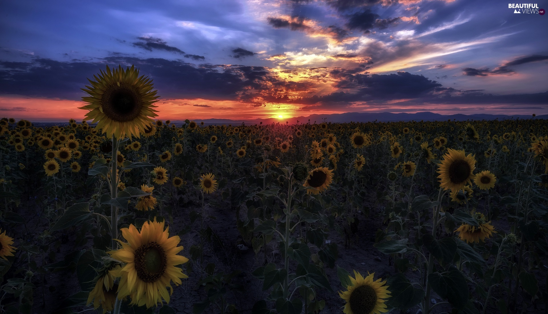 Great Sunsets, Flowers, Nice sunflowers, Field