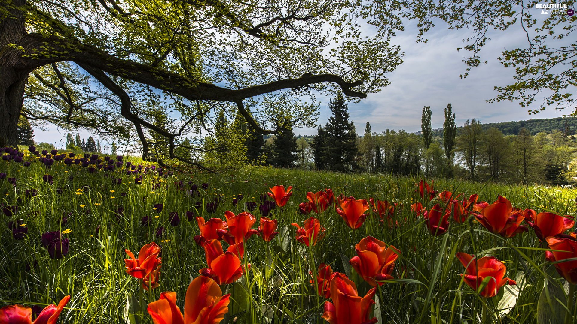 Tulips, Baden-W?rttemberg, Garden, trees, Park, Germany, Mainau Island, viewes, grass, Spring