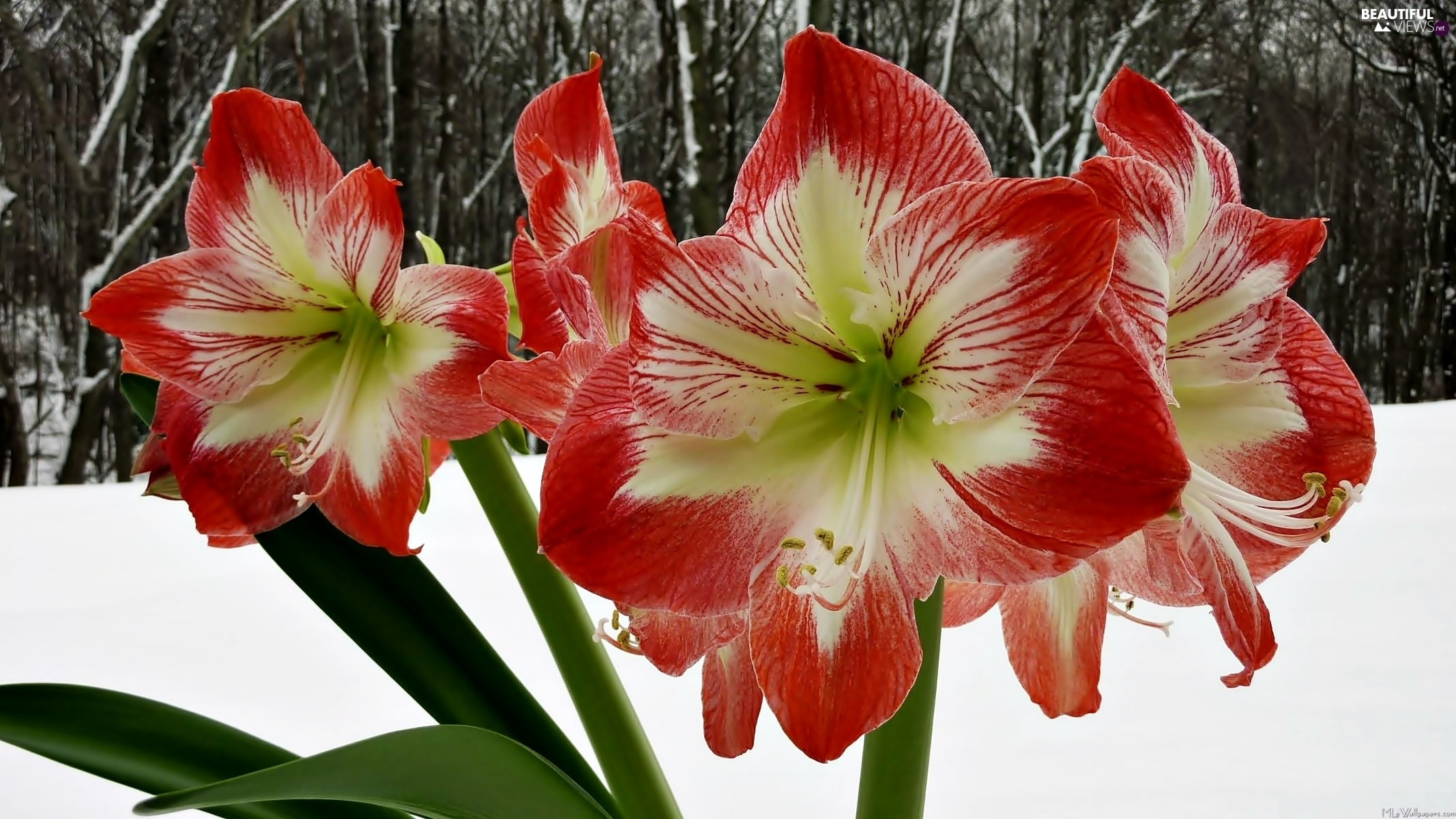 snow, amaryllis, winter