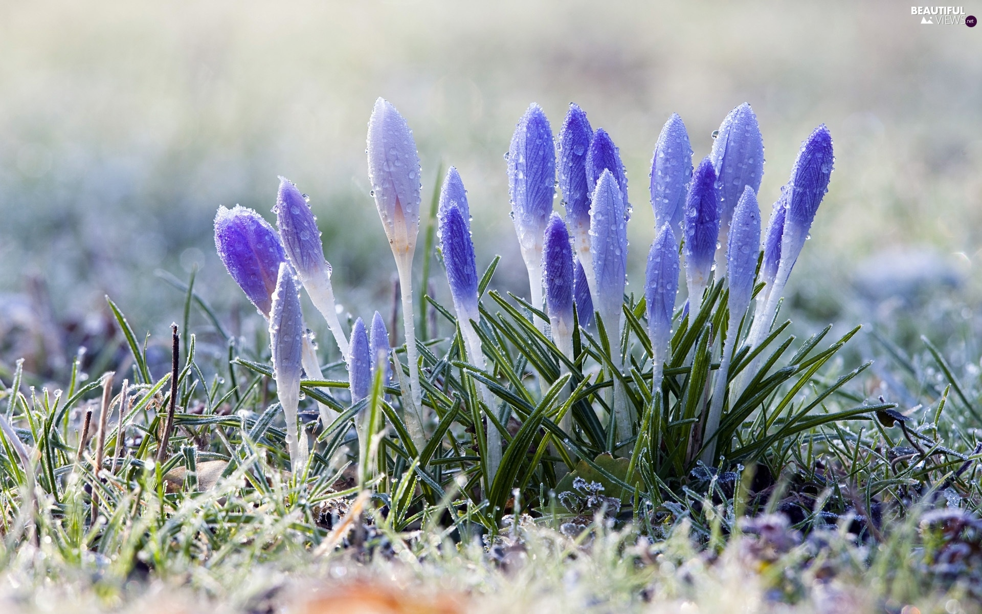 crocuses, Meadow, Spring, dew